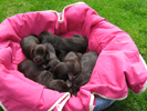 Bohemian wire-haired Pointing Griffon puppies
